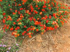 ハーブの花も成長。