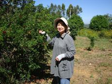 4本植えたアセロラにたくさんの実がつきました。