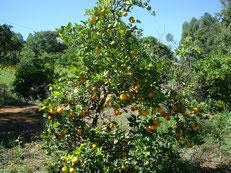 原種のレモンの木(カペッタ)も大きく成長しました。