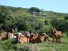 背中のこぶが特徴の牛を何千頭と飼育しています。Granja Do Carlosの牛は品評会で何度となく入選しています。