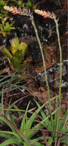 Dyckia kranziana (Foto: Leme)
