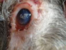 Typisches Kennzeichen der Leishmaniosis allerdings nicht häufig zu sehen  blaues Auge