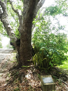 Rubenach memorial tree in Gridley Street Eumundi
