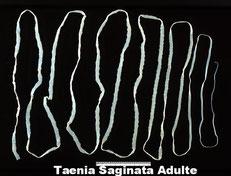 Un vers taenia chez le chien pour qui la fréquence vermifuge chien n'a pas été respectée.