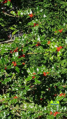 Glänzend grüne Blätter und zahlreiche knallrot in der Herbstsonne leuchtende Beeren einer Stechpalme / Ilex von K.D. Michaelis