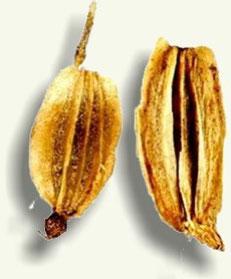Cortes de semillas de levístico