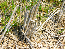 昨年の稲刈り後の稲