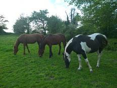 chevaux de l'élevage Baunel