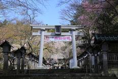 白河市・南湖神社楽翁桜