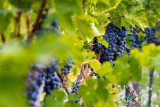 reife weintrauben, cabernet franc, bio, biodynamie