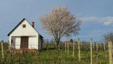 weingut wassmann, weinbergshaus, blühender mandelbaum
