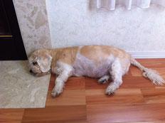 我が家のレオちゃん14才、頭は大理石の上に、足は板床の上に・・・一番気持ちいい場所を選んで、猛暑を乗り切っております!