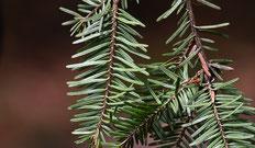 Pflanze des Monats: Schlehe