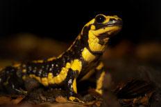 Salamanderpest und Feuersalamander