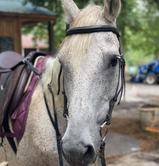 Grey beyond the Neverlands - Private and Lessons horse