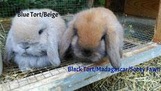 Isabel (Beige/Blue Tort) y Madagascar (Sooty Fawn/Black Tort)