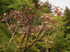 新緑の中に八重桜が間もなく満開かな!