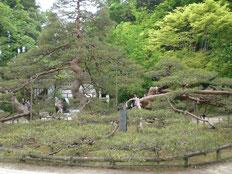を這うように生えた大きな松の木