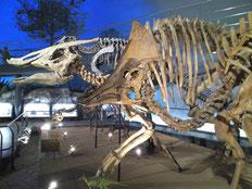 福井県立恐竜博物館 恐竜の骨