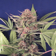 cogollo marihuana big mamut de big seeds