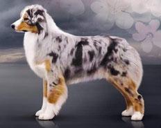 Все о породе Австралийская овчарка/All about breed Australian Shepherd