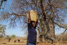 バオバブの花現物画像