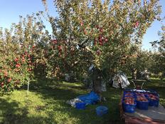 大好きなリンゴ、仕込作業もワクワクします。