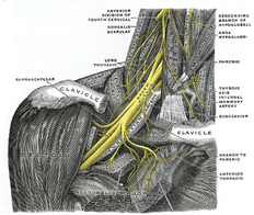 brachial plexus of the arm