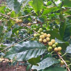 安田珈琲農園のコーヒーの実(写真:三枝克之)