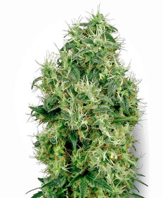White Gold Cannabis Sorte
