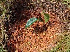 地植えしたパラミツの苗の写真