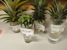 パイナップル 4種類 挿し木用にカット 写真