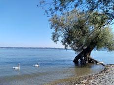 Schwanenpaar und Baummagie am Bodensee