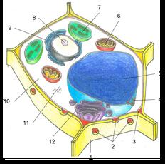 Pflanzliche Zelle | Copyright by Michaela Engelmann 2020