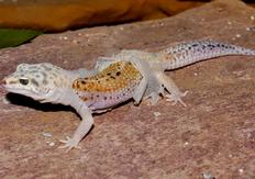 Geplatzter Gecko? Foto: Karsten