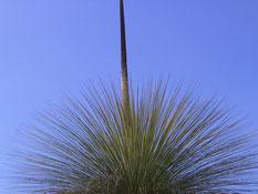 Grasbaum (Foto der Uni)