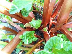 Pied de rhubarbe cultivé au printemps