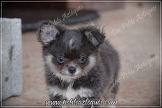Chihuahua bleu poils longs - Elevage Des Petits Aztèques