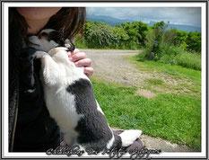 Puberté chez le chien : chihuahua