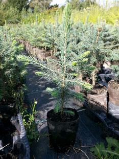 Weihachtsbaum-Mix aus Blaufichten, Koreatannen und Nordmanntannen