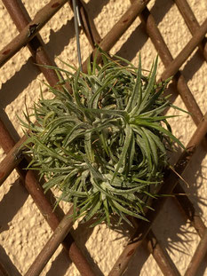 Tillandsia ionantha méxico