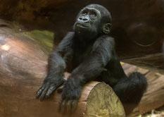 kleiner Gorilla