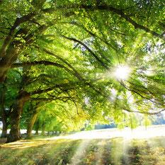 große Bäume am Wiesenrand, durch deren Krone die Sonne strahlt