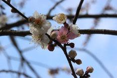 正福寺にある梅の古木