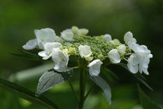 この時期の見事なアジサイの花
