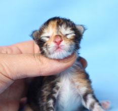 Rascoon C (black tortie tabby / white) female birth