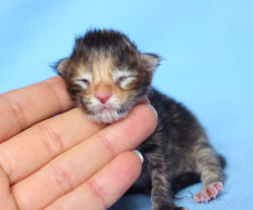 Rascoon C (black tortie tabby) female birth