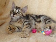 Bella von La- Lea- Lil, Norwegische Waldkatze, amber, 9 Wochen alt