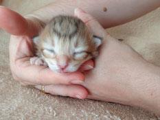 Belina von La- Lea- Lil, Norwegische Waldkatze, amber-tabby-spotted, 3 Tage alt