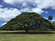ハワイ オアフ島 モアナルアガーデンズ この木なんの木 日立の木 モンキーポッド 大きい木